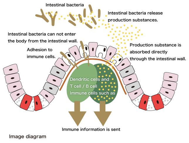 Lactic acid bacteria producing substance and lactic acid bacteria