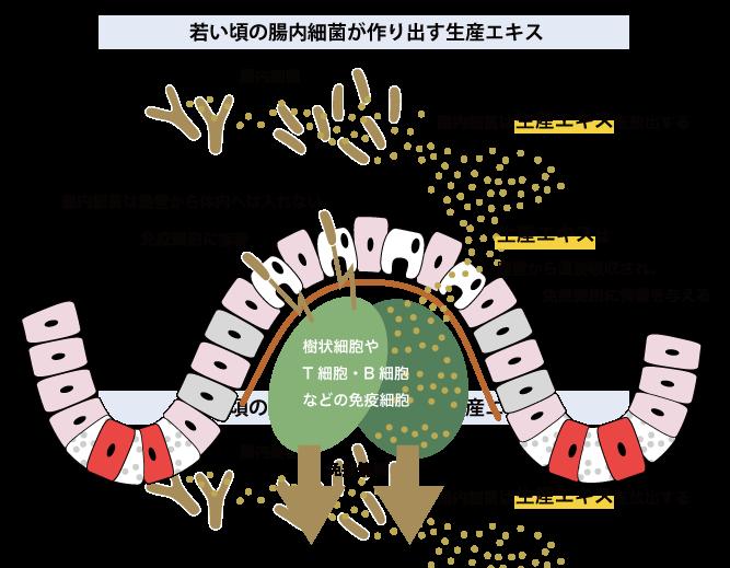 乳酸菌生産エキスと乳酸菌と腸壁
